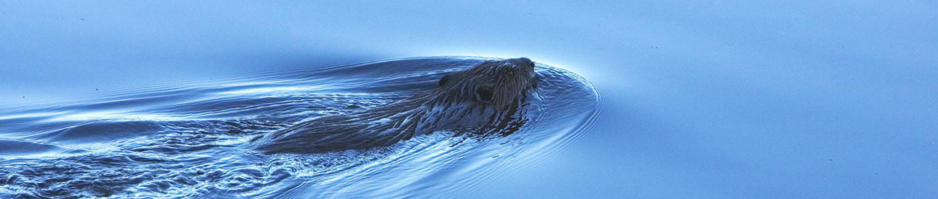 A beaver swims in dark waters.
